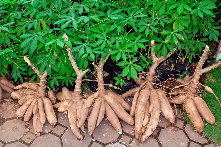 raw metariel--cassava